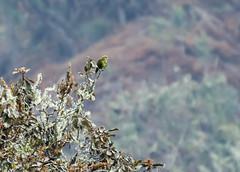 Indigo-winged Parrot