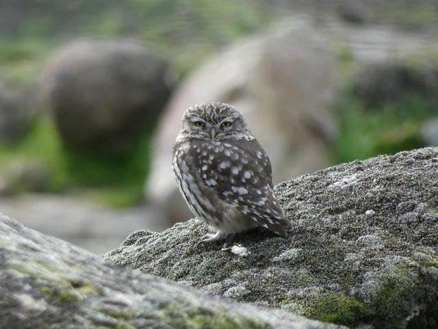 Mochuelo subido a una roca