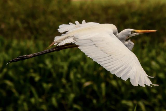 Egretta alba, Fogg Dam Reserve, Northern Territory, Australia