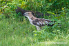 Crested Hawk-eagle (Nisaetus cirrhatus ceylanensis), adult DSC_1360 by fotosynthesys