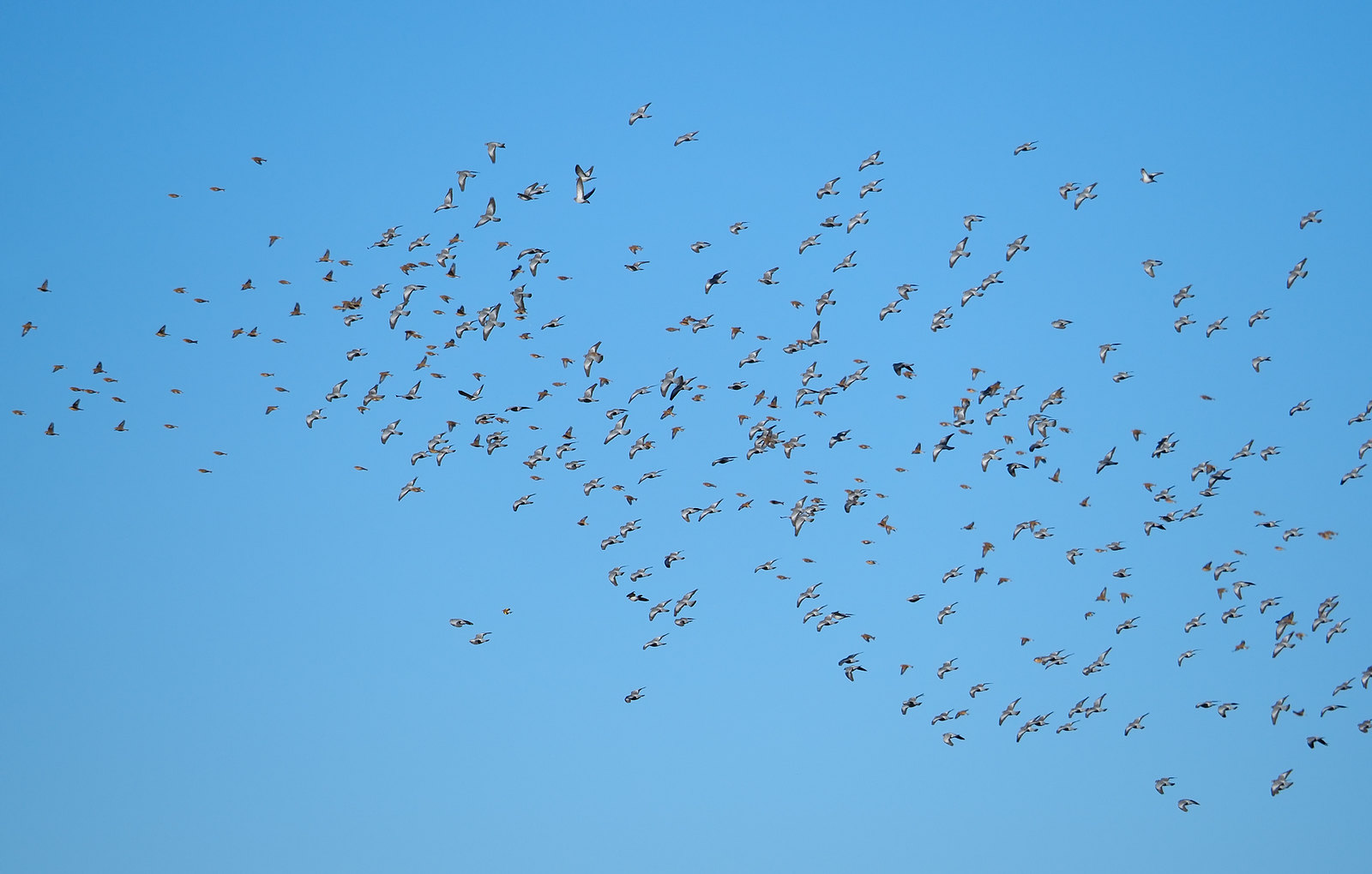 Large flock of Stock Doves and Linnets