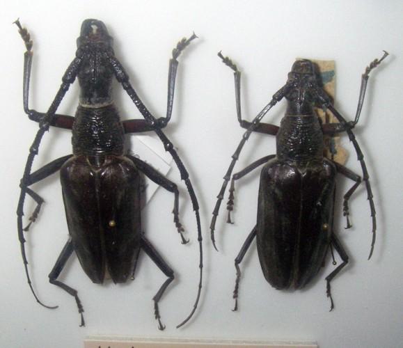 Hoplocerambyx severus 46823836834_441c9d2373_o