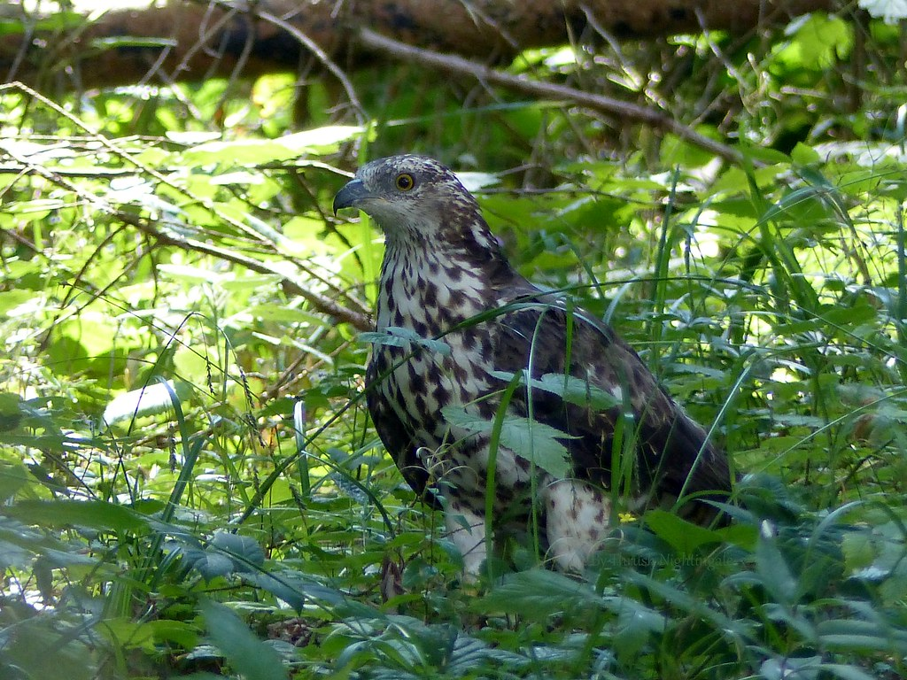Young European Honey Buzzard