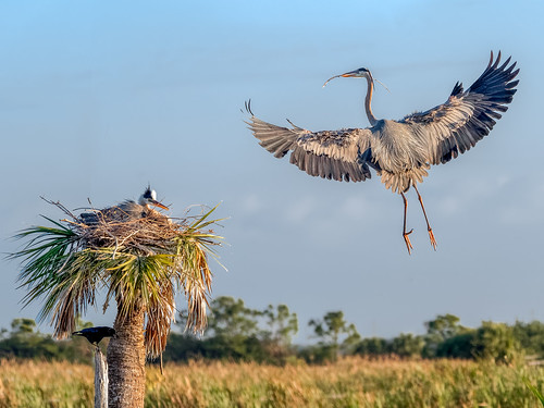 Nesting Great blue Herons | by Ed Rosack