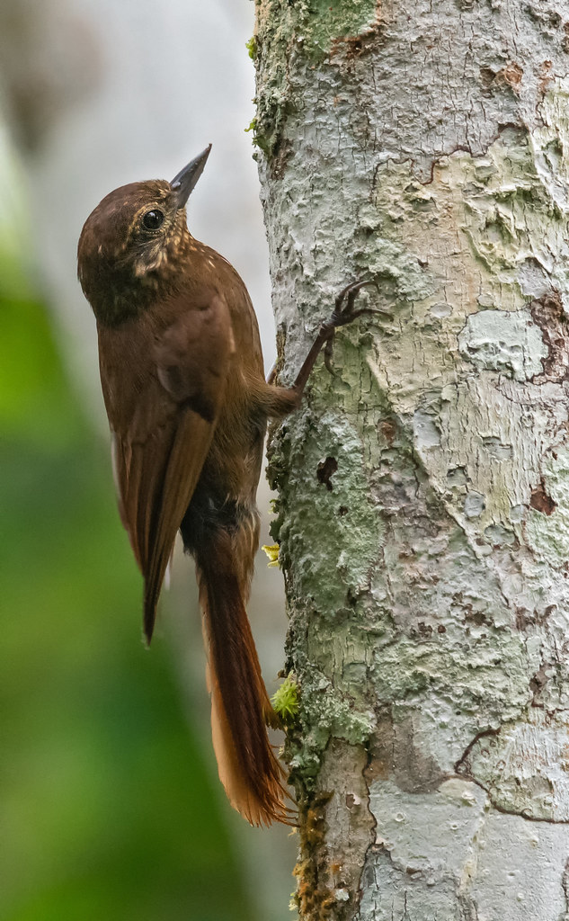 Glyphorynchus spirurus - Wedge-billed Woodcreeper - Trepatroncos Picocuña 09