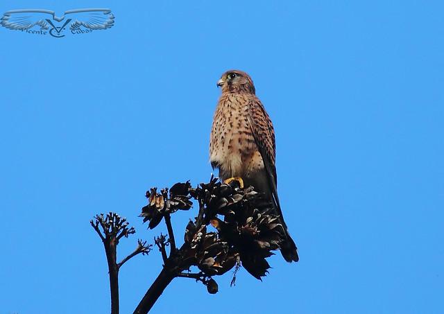 CERNÍCALO  Falco tinnunculus canariensis