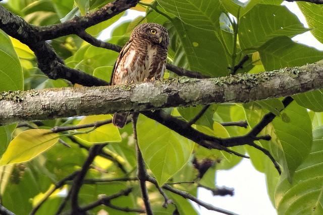 Kaeng Krachan NP, TH: Collared Owlet 2