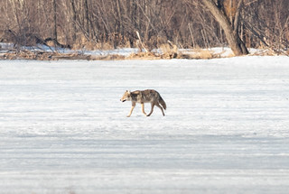 Coyote | by Laura Erickson