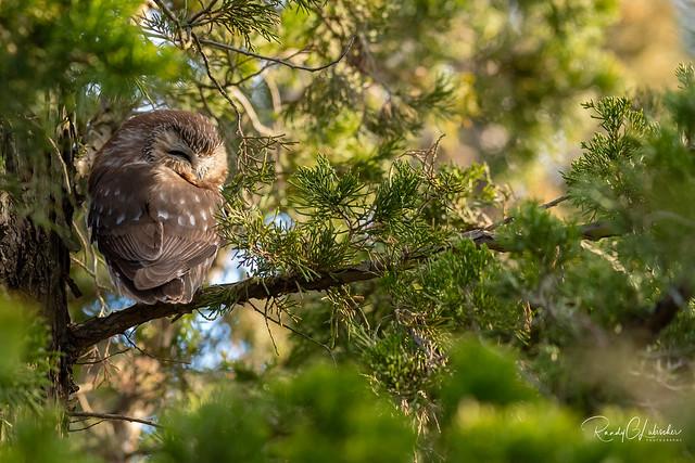 Northern Saw-whet Owl - Aegolius acadicus | 2019 - 3 [EXPLORED]