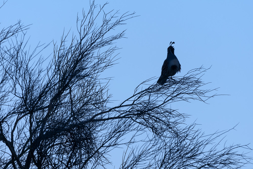 A gambel's quail sings, silhouetted against a blue sky, early on a spring morning near the Latigo Trail in McDowell Sonoran Preserve in Scottsdale, Arizona