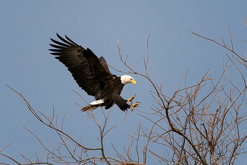 Eagle Landing | by Ken Cheng Photography