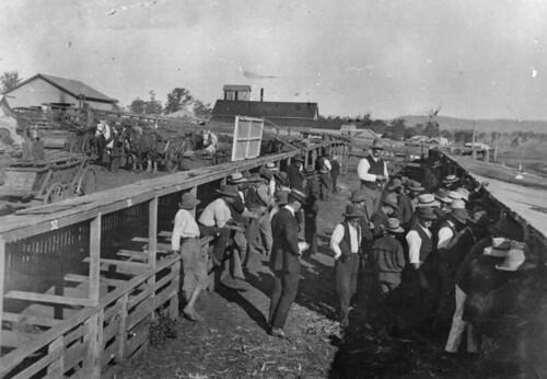queensland statelibraryofqueensland pigs yearofthepig saleyards auctions livestock horses