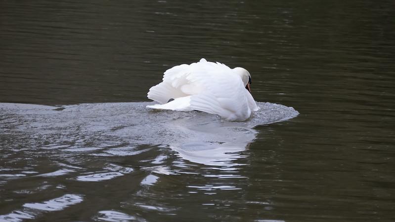 Angry birds: swan, Avon