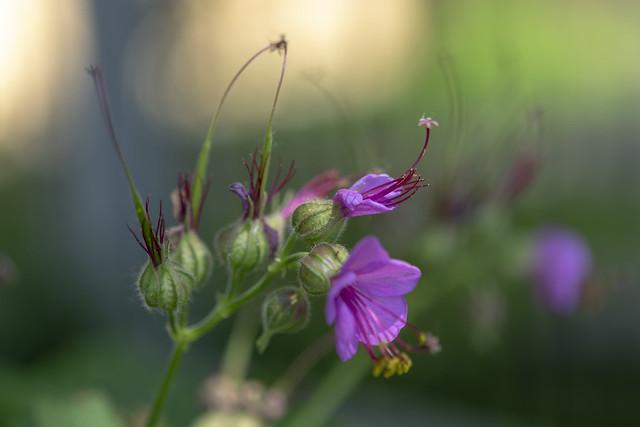 Bigroot geranium (Geranium macrorrhizum)