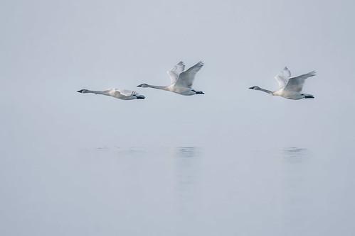 Swans: Re-edit