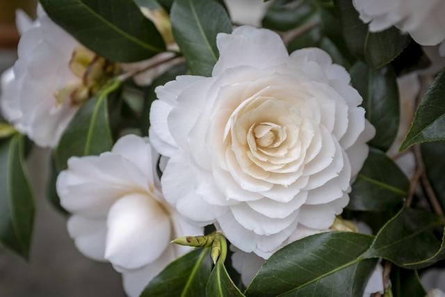 Camellia in bloom