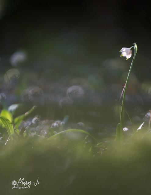 La nivéole et la lumière...  The snowflake and the light ...