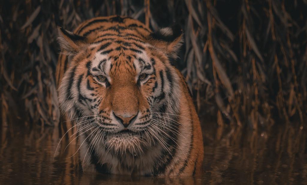 Tiger_4_Amur