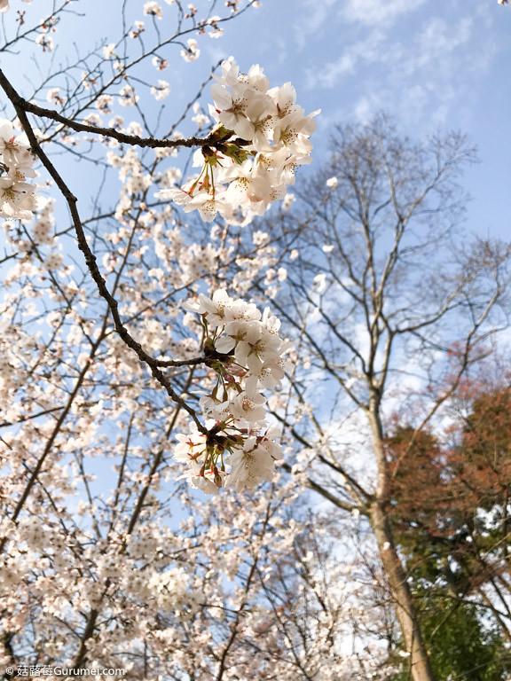 打工度假-京都生活-賞花、野餐-038