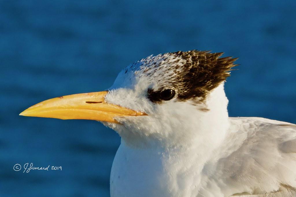 Royal Tern Up Close