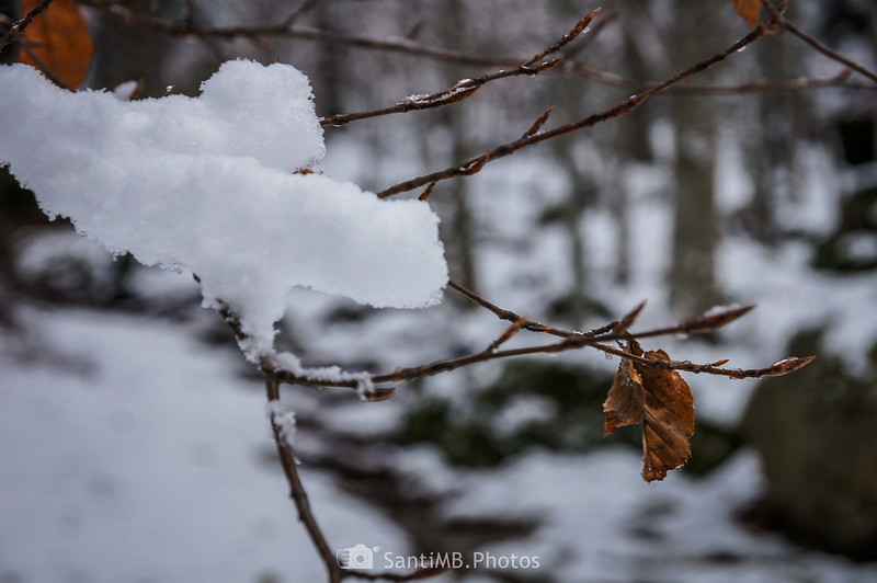 Nieve sombre una ramita de haya en el Bòsc de Conangles