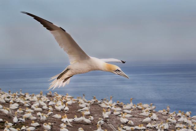 Northern Gannet - Where's My Nest ?