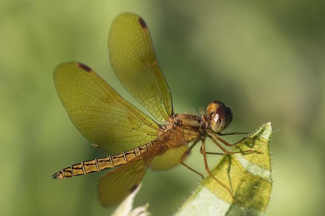 Libélula (Odonata)