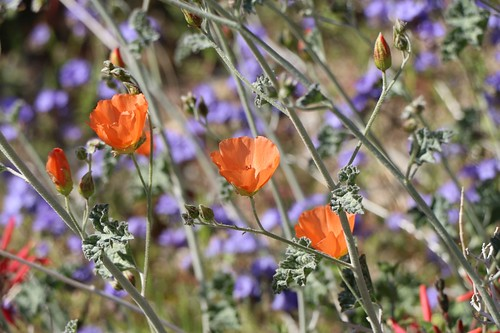 393 Orange Globemallow flowers | by _JFR_