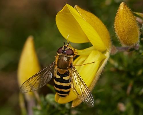 Syrphus sp, female, on gorse