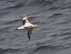 A short-tailed albatross in flight (1) by takashi muramatsu