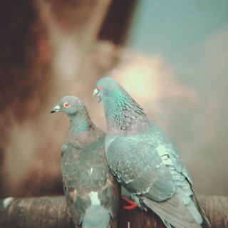 Two pigeons | by central-hi