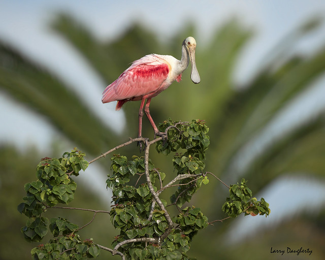 Spoonbill at Jefferson Island, Louisiana......D800