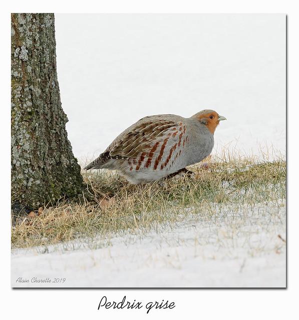 Perdrix Grise / Gray Partridge 153A781 2500px