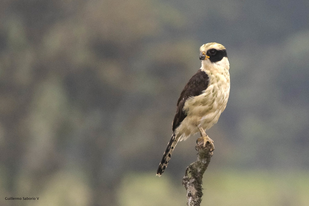 Laughing Falcon_28A2035