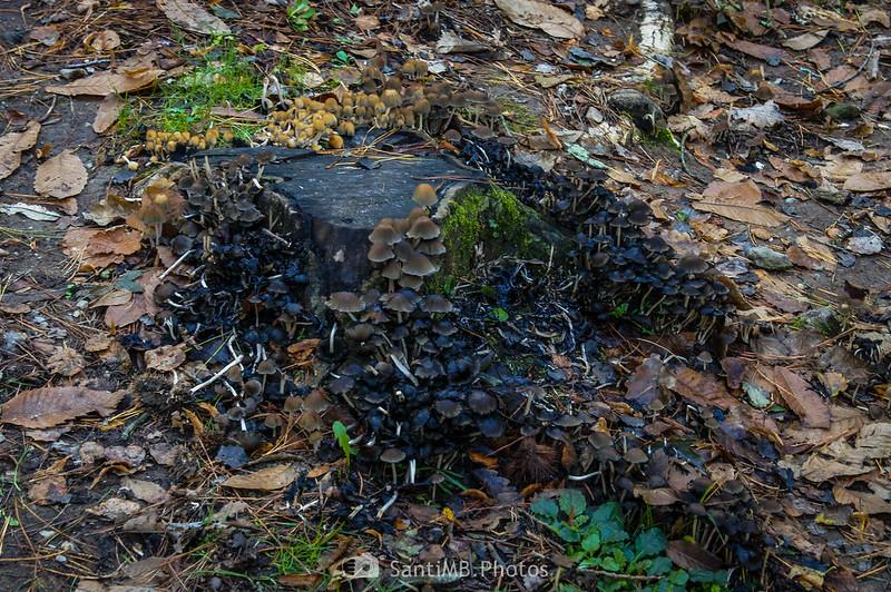 Decenas de setas en un tronco muerto en el Pla d'en Xurri