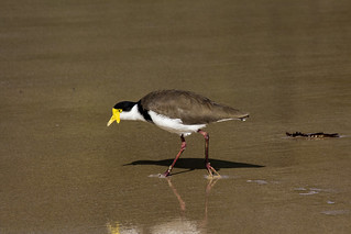 Yellow Comb-crested Jacana , Mollymook Beach, AU
