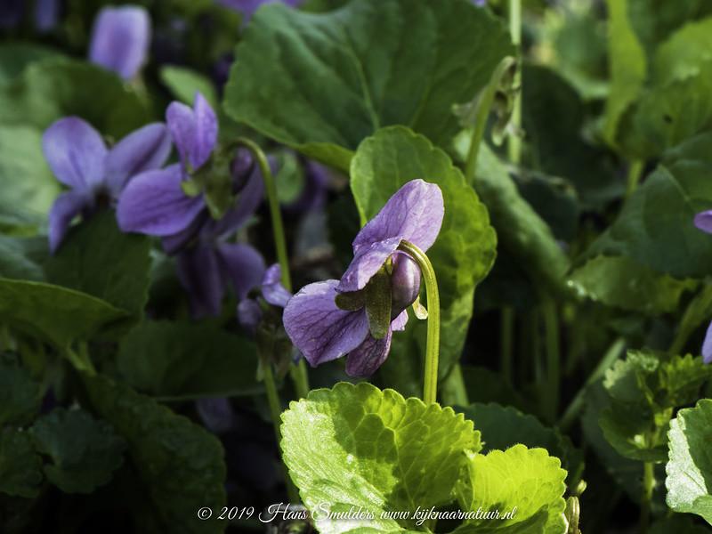 Maarts viooltje (Viola odorata)-819_0598