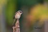 红尾伯劳 Brown Shrike
