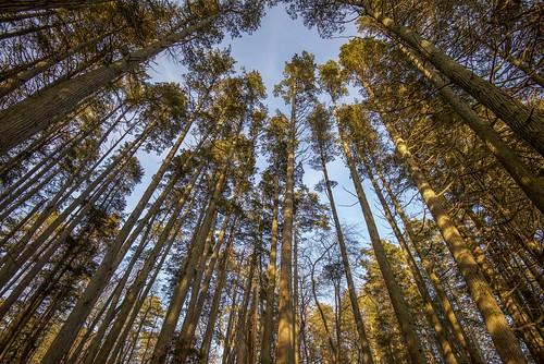 cedars cedar cedarforest dogwood dogwood2019 trees lookingup wellsmills nj newjersey waretown forest coniferous pinebarrens njpinebarrens