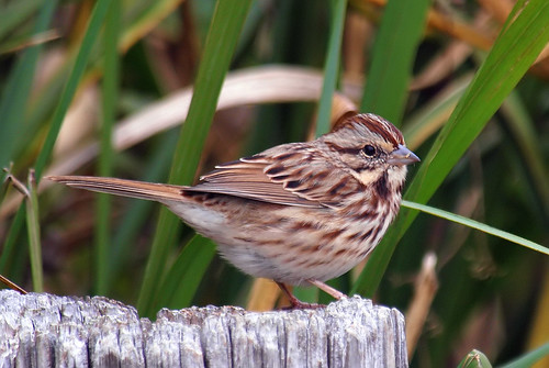 melospizamelodia songsparrow sparrow whiterocklake dallastexas sunsetbay wintersparrow winterbirds migratorybird closeup pier friendly lookingatme