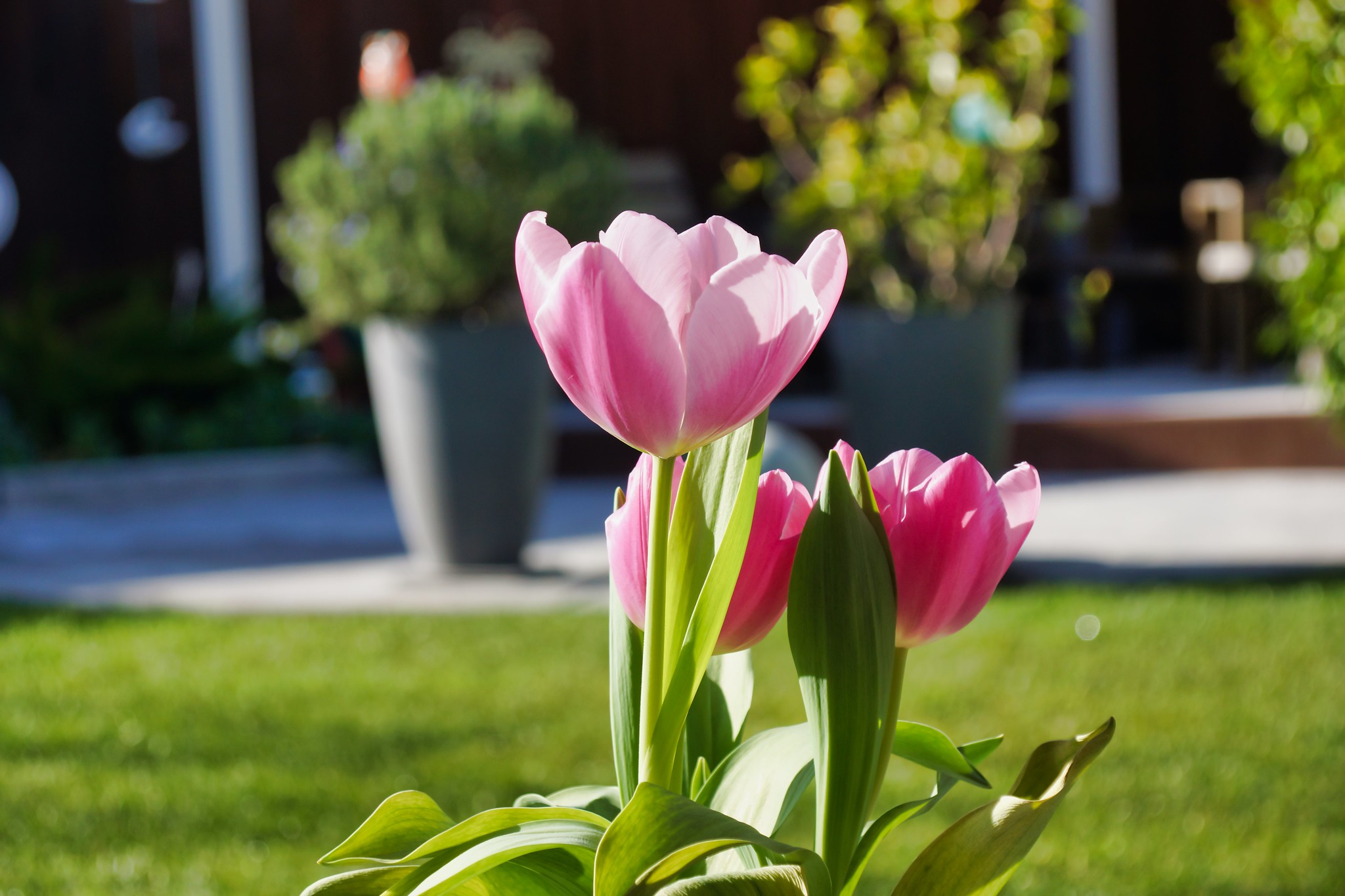 2019-02-11 - Nature Photography - Flowers - Tulips