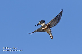 Belted Kingfisher, Megaceryle alcyon, in flight, hovering