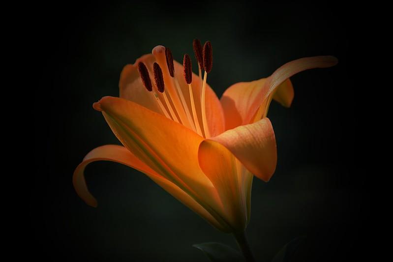 Обои Макро, Лилия, Фон, Lily, Macro, Orange flower картинки на рабочий стол, раздел цветы - скачать