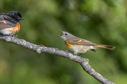 American Redstart | by Joe Branco