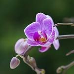 蘭 / Orchid       Agfa Colostar 1:4.5 / 100mm