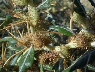 Xanthium spinosum# - Bathurst Burr JPG | by Friends of Chiltern Mt Pilot National Park