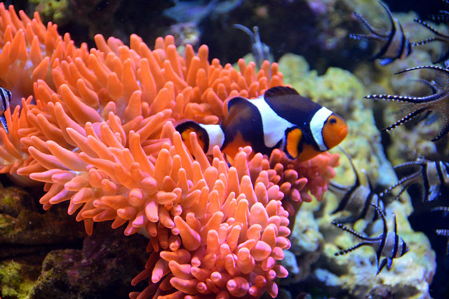 Clownfish (Amphiprioninae)
