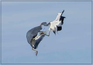 Air Dance step 2!  TriColored Egrets