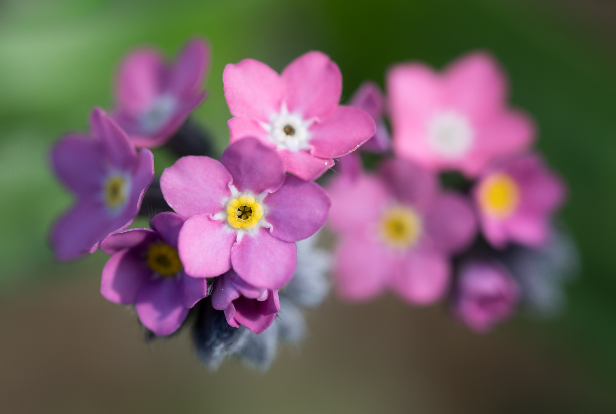 Les belles petites roses 46799962084_05fccc8598_o