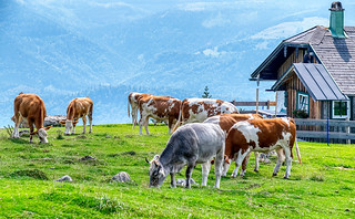 cow and bulls on the Schafsberg | by heyyouphoto